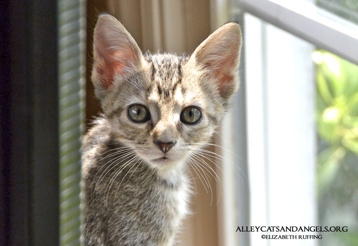 Wednesday by Elizabeth Ruffing, adoptable kitten, Alley Cats and Angels of NC rescue