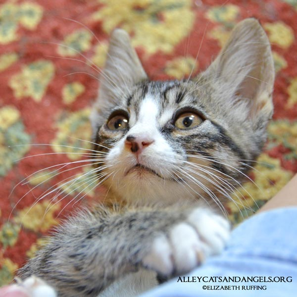 Gomez by Elizabeth Ruffing, adoptable kitten, Alley Cats and Angels of NC rescue