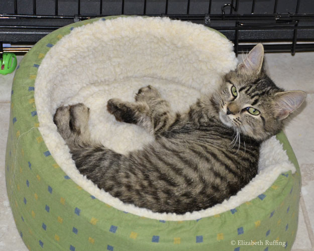 Tabby kitten lying in a cat bed, photo by Elizabeth Ruffing