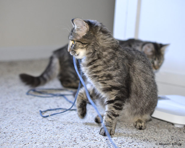 Bertie and Phoebe the tabby kittens play with string