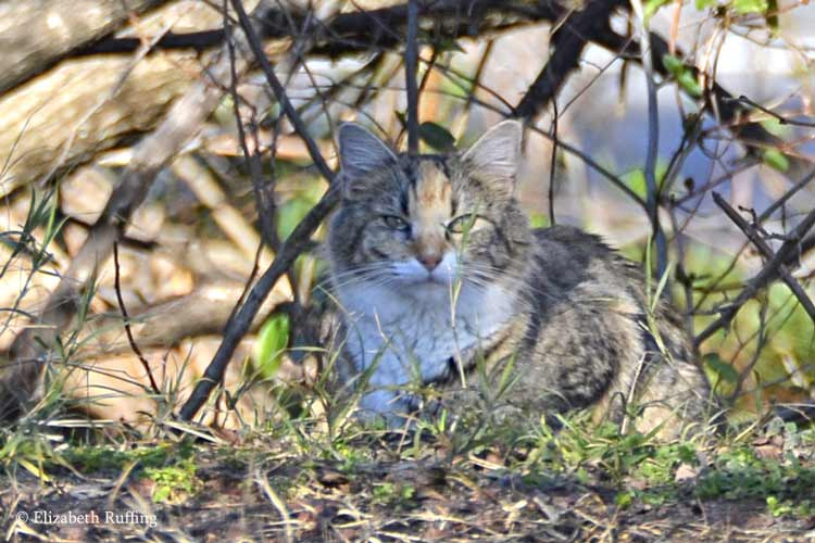 Feral cat in brush, photo by Elizabeth Ruffing