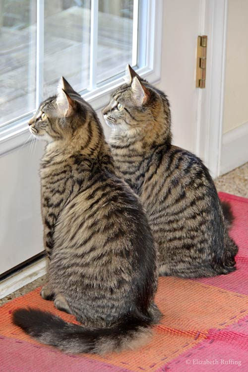 Tabby kittens bird watching at the door, photo by Elizabeth Ruffing