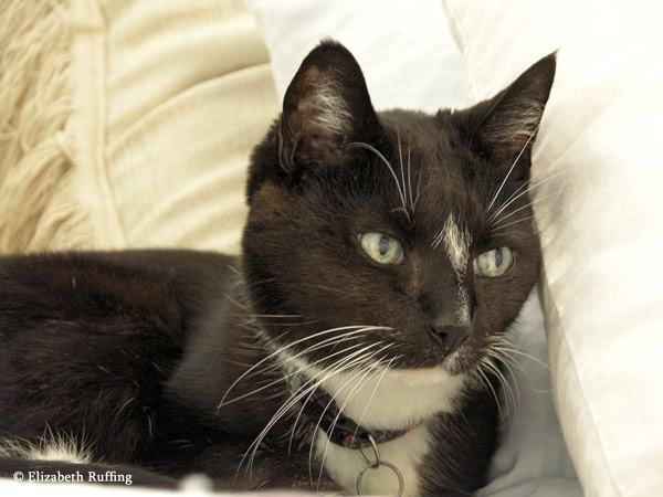 Tuxedo cat on the bed, looking wistful, Elizabeth Ruffing