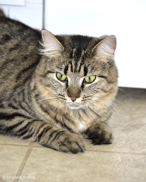 Tabby cat by Elizabeth Ruffing