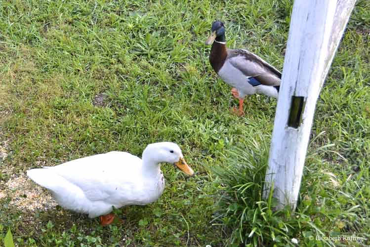 White duck with a mallard duck, photo by Elizabeth Ruffing