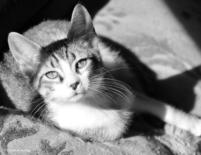 Pugsley, Tabby kitten by Elizabeth Ruffing