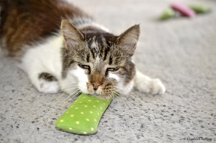 Tabby-and-white kitty cat resting his chin on a catnip cigar, by Elizabeth Ruffing