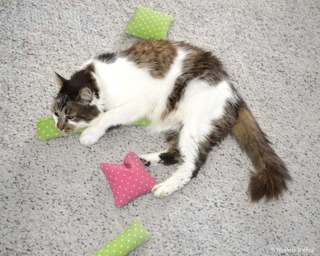 Tabby-and-white cat playing with catnip squares and kickers