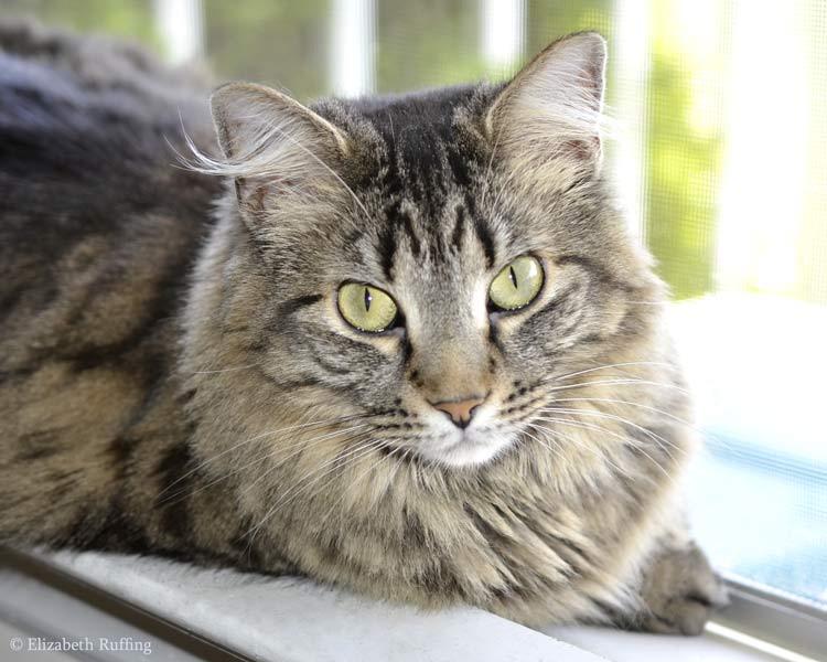 Bertie, looking angelic, tabby cat, Elizabeth Ruffing