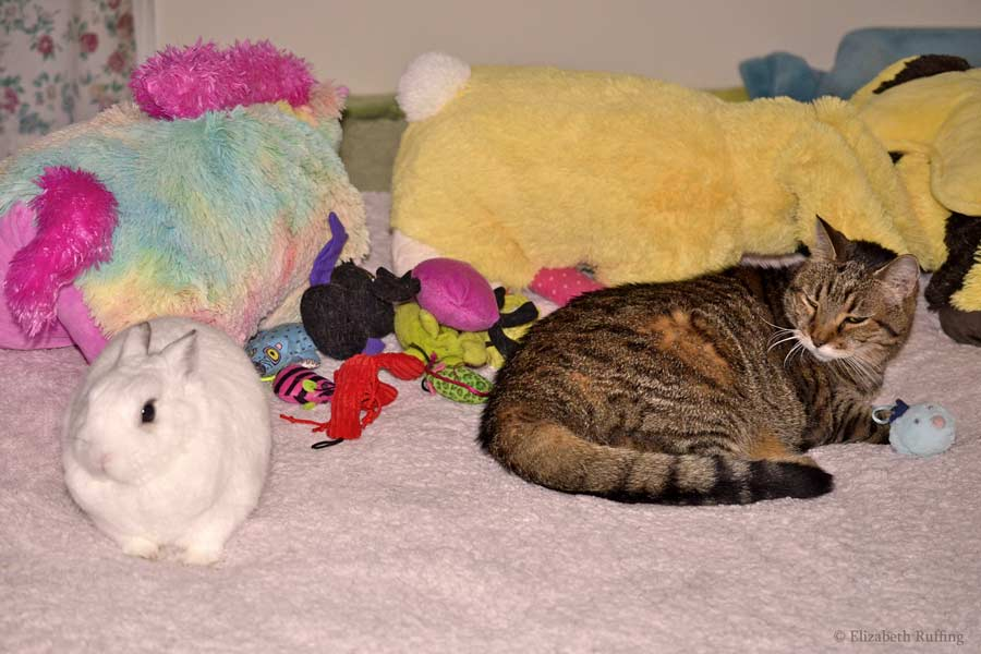 Bunny and kitty cat competing for toys on bed